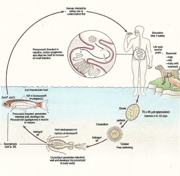 Дифиллоботриоз – симптомы, лечение, диагностика, фото