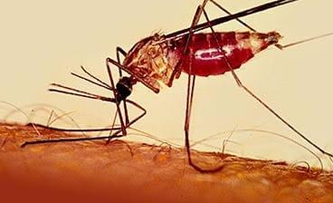Малярия - Инфекционные болезни