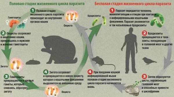 Токсоплазмоз симптомы у человека диагностика 11